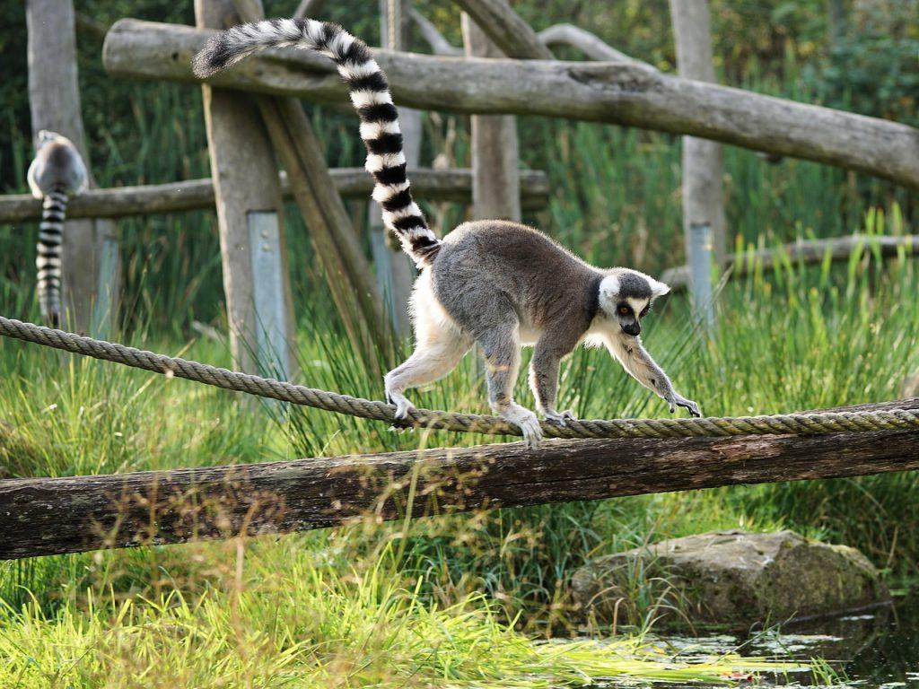 lemuriens-madagascar
